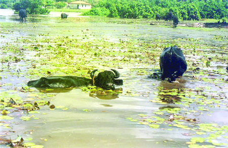 Búfalos: espécie exótica que há quase 40 anos vem causando prejuízos incalculáveis a um ecossistema de frágil equilíbrio como o lago de Viana